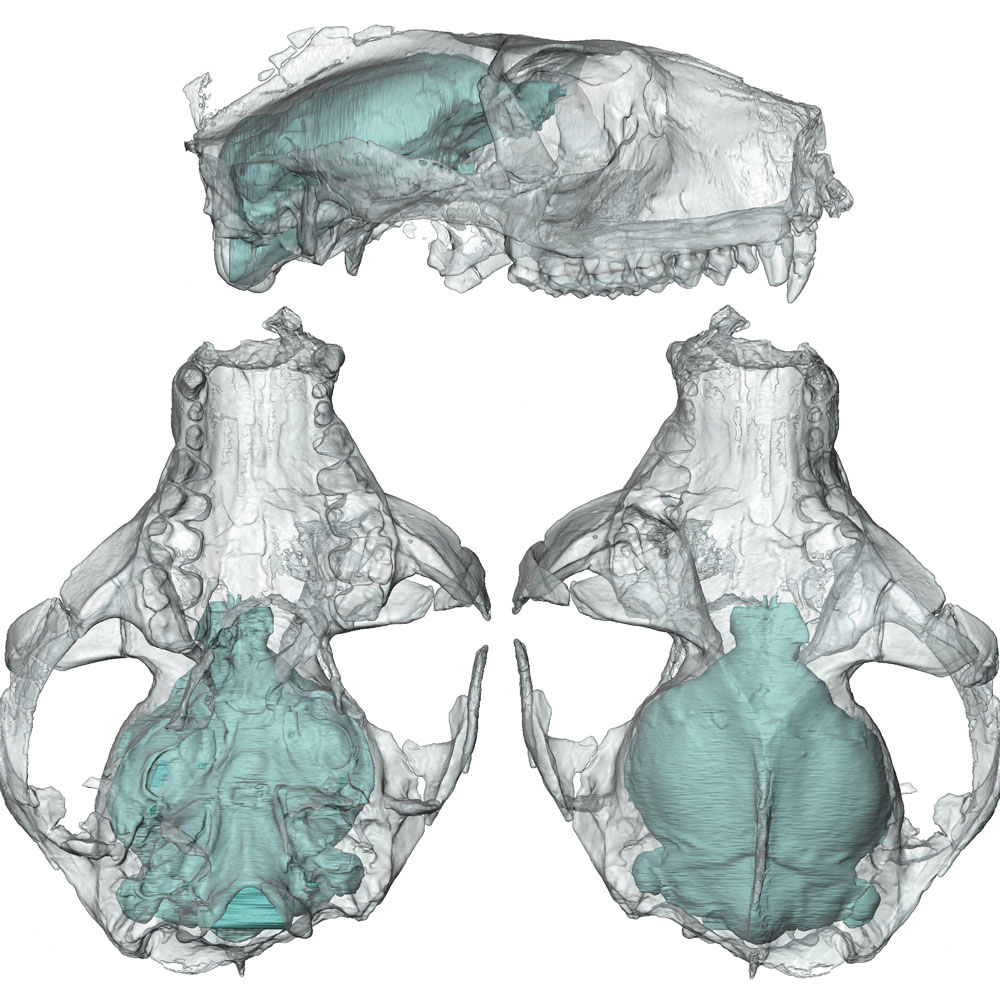 Virtual 3-D brain casts of early primates